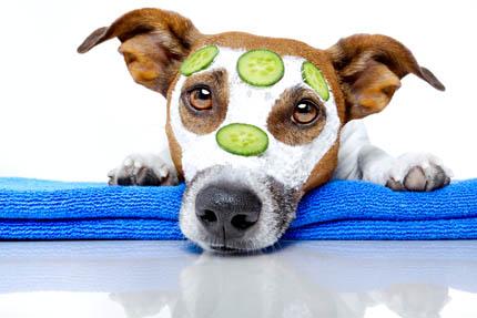 Już 9% rasowych psów może liczyć na zabieg w SPA, fot. Depositphotos