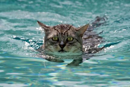 Wszystkie koty potrafią pływać, fot. iStock