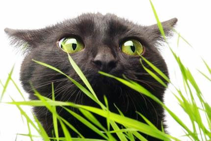 Koty uwielbiają podrażniającą jelita trawę!, fot. Depositphotos