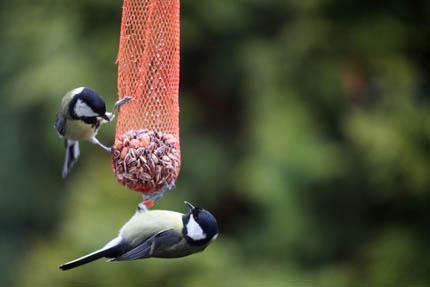 Mieszanki nasion i kule tłuszczowe dla ptaków, fot. iStock