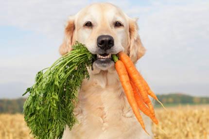 Wegańskie karmy dla zwierząt budzą kontrowersje, fot. iStock