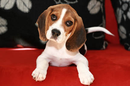 Beagle nie lubią być pozostawione same sobie, fot. iStock