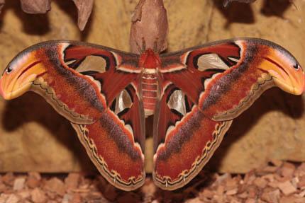 Pawica – jeden z największych motyli na świecie, fot. Marcin Cześnin