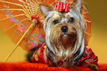 W Japonii sprzedaje się nawet psie kimona, fot. Depositphotos