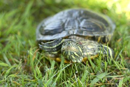 Żółw czerwonolicy, fot. archiwum Pet Market