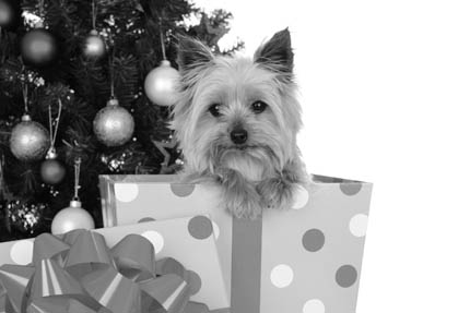 Zwierzę nigdy nie powinno być prezentem niespodziewanym, fot. iStock